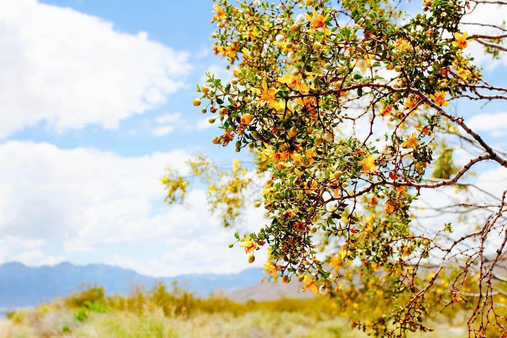 Flowers Mojave Desert National Preserve California USA
