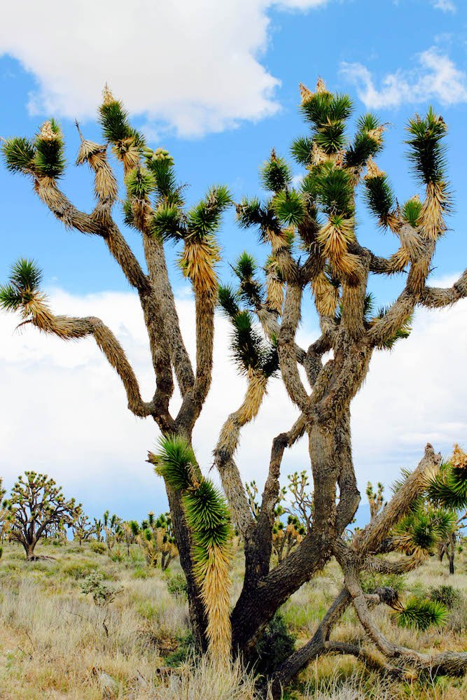 Joshua Tree Mojave Desert National Preserve California USA