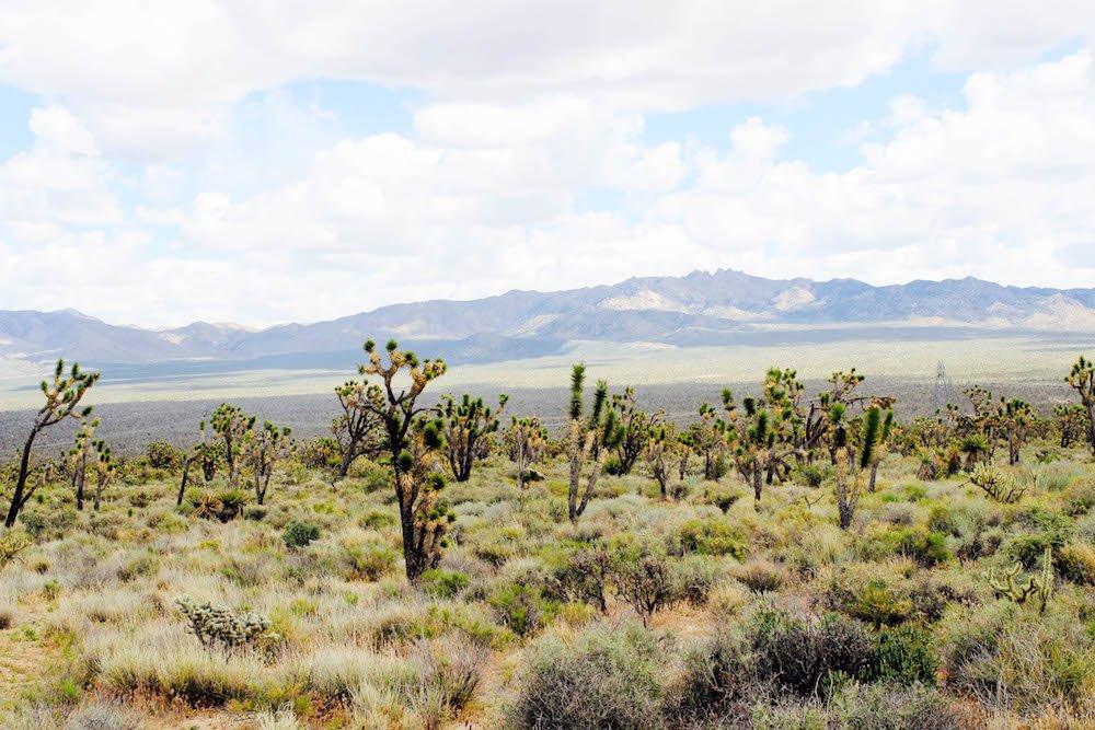 Joshua Trees and Mountains Mojave Desert National Preserve California USA