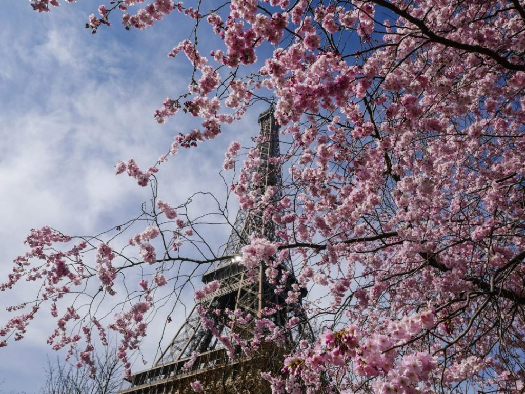 The Eiffel Tower through pink blooms on a tree
