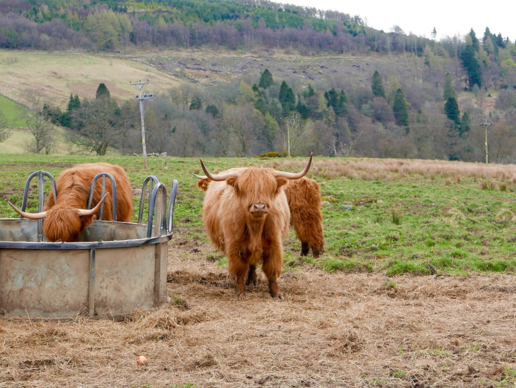 Highland Cow Scotland Hairy Coo