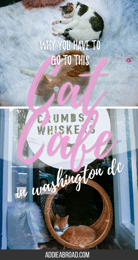 Ever wanted to visit a cat cafe? If you're in Washington DC, then now's your chance. Crumbs and Whiskers Cat Cafe in Georgetown, Washington DC is absolutely amazing - a must do while you're there! | What to Do in Georgetown | What to Do in Washington DC