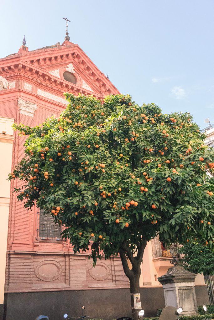 Orange Tree Santa Cruz Seville