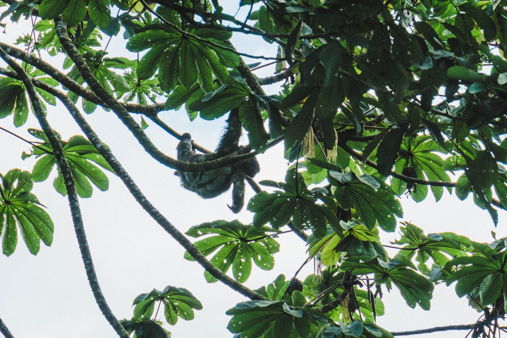 Sloth hanging from tree branch in La Fortuna, Costa Rica