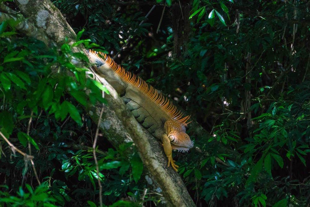 Iguana on a branch in a tree on a wildlife rafting safari in La Fortuna, Costa Rica
