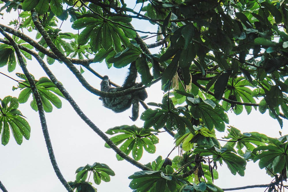 A sloth hanging from a tree on the side of the road in La Fortuna, Costa Rica
