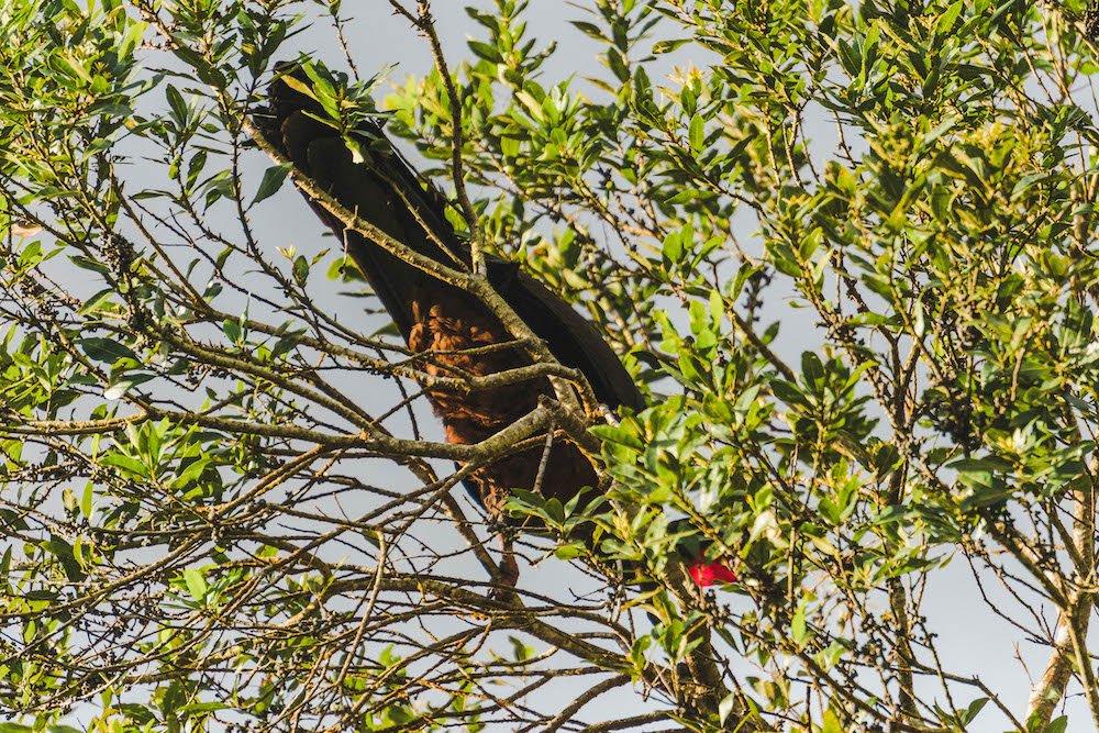 A wild turkey standing in a tree in La Fortuna, Costa Rica