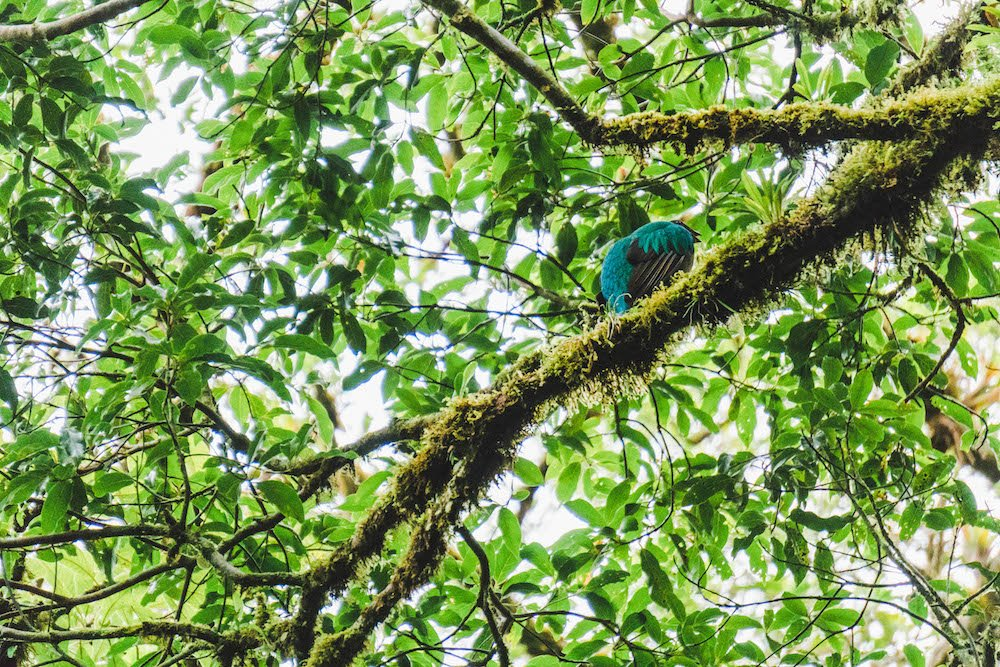 A beautiful blue Quetzal bird in Sevlatura Park, Monteverde, Costa Rica