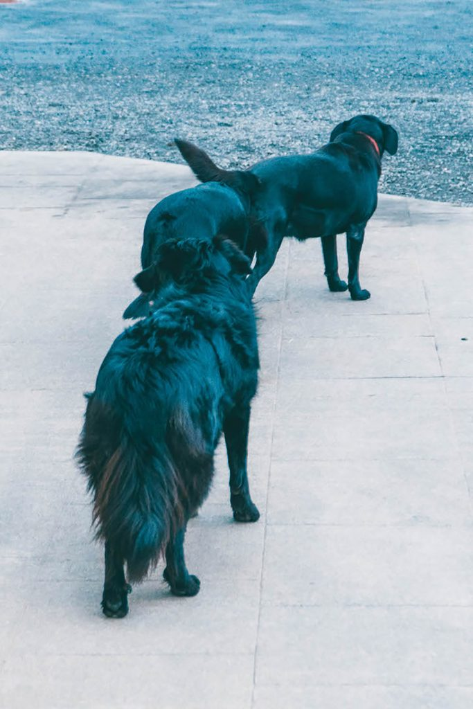 3 very cute black dogs at Efstidalur Dairy Farm on the Golden Circle