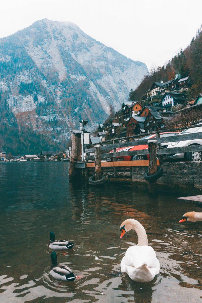 A swan on the lake in Hallstatt