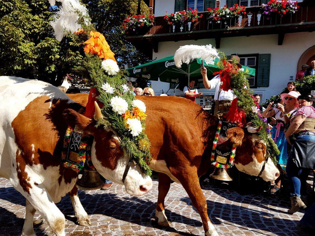 Cows during the Almabtrieb in Tyrol, Austria