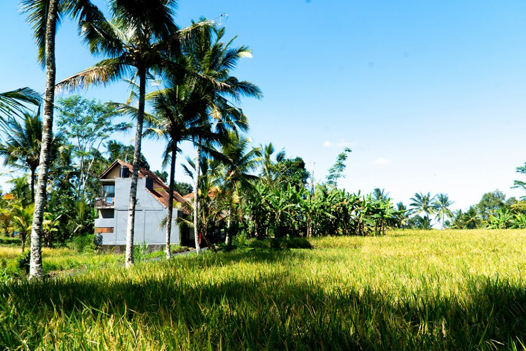a white house among palm trees and rice field