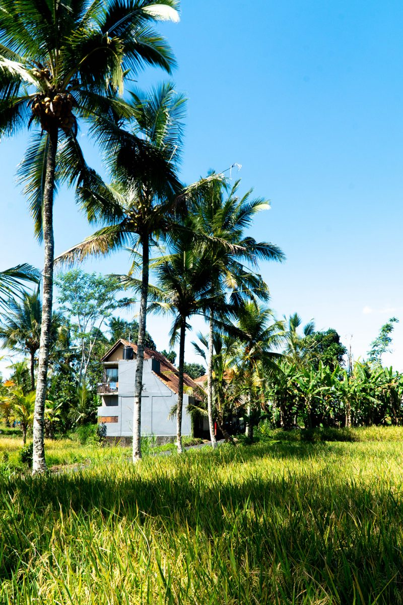 a white house and palm tress by ubud rice fields