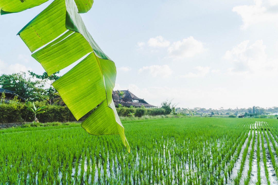 Banana leaf hanging into frame over rice fields in bali