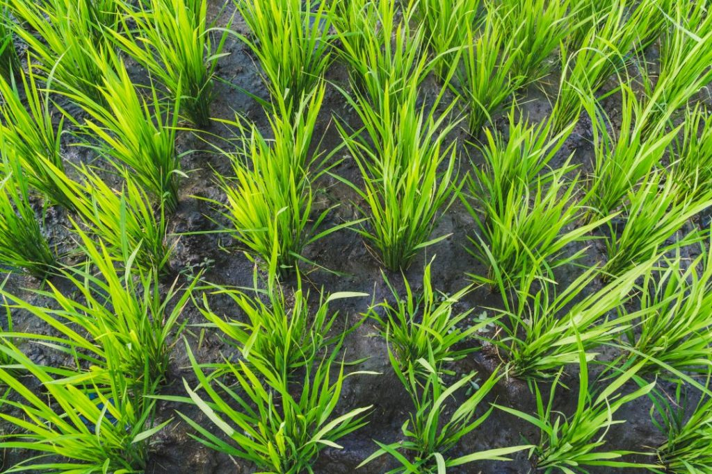 Close up of rice plants in Bali on a total bali food tour