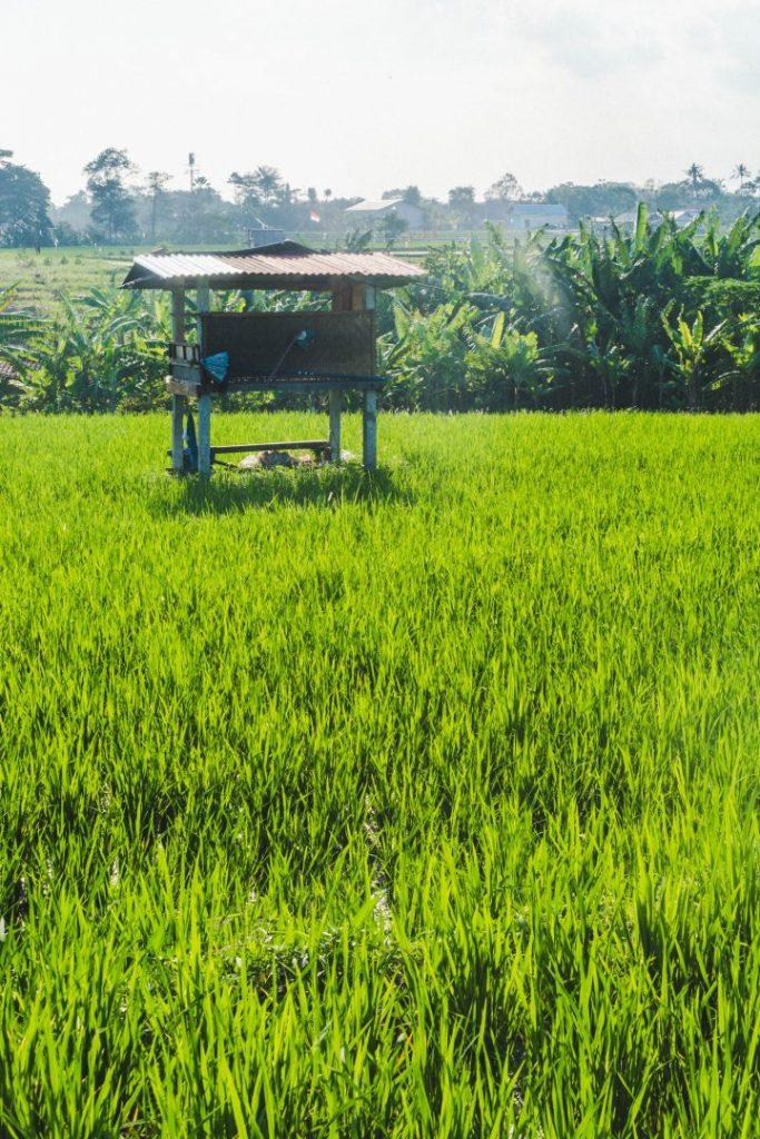 A small hut on stilts in rice fields in bali