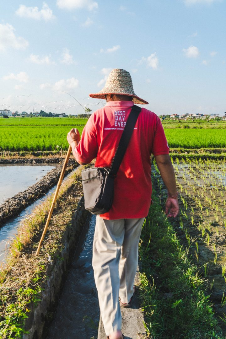 Urban Adventures guide wearing red shirt and walking through rice fields in Bali