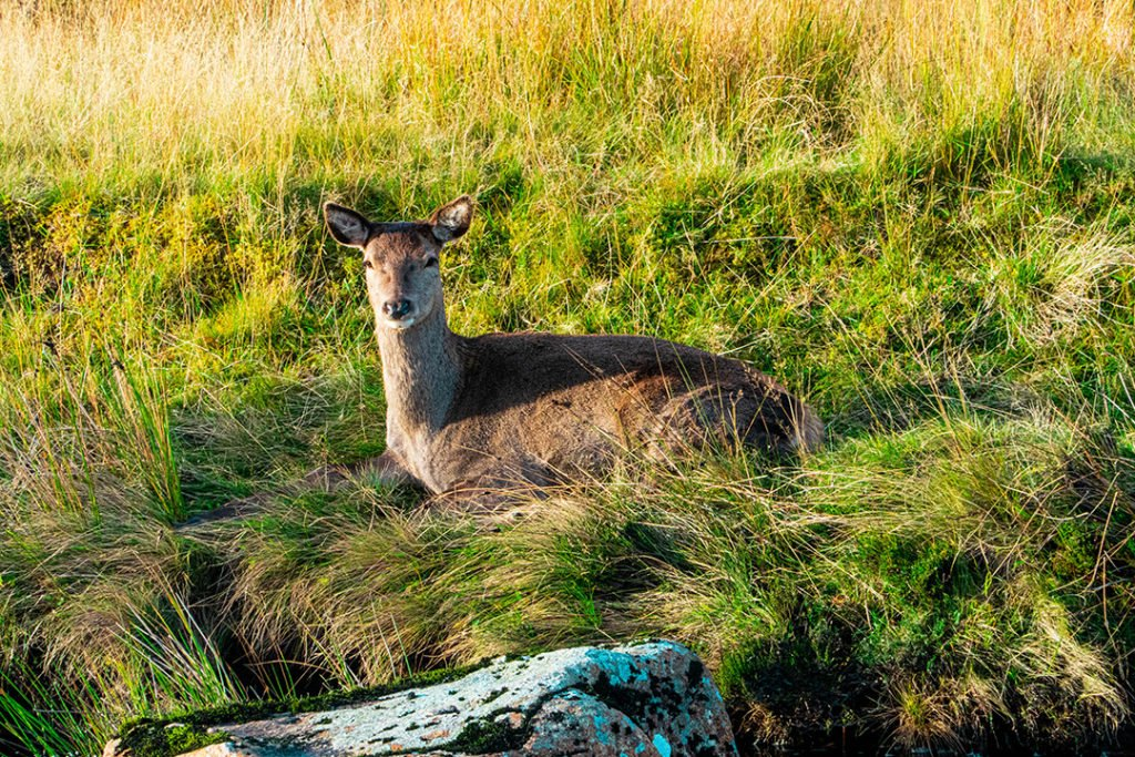 a deer laying in the grass and staring at the camera