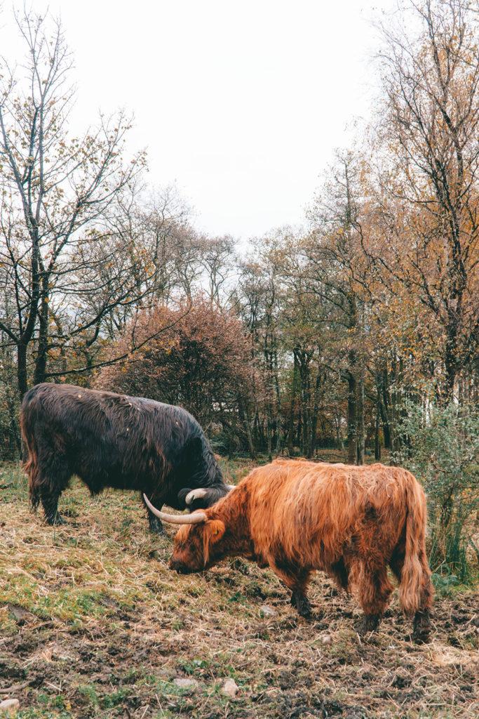 orange and black highland cows grazing