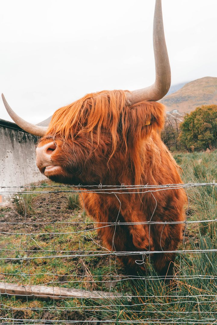 an orange highland cow close up