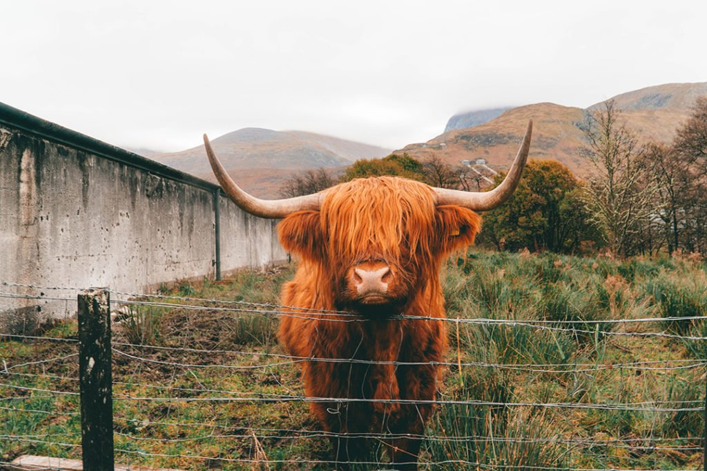 an orange highland cow staring at the camera
