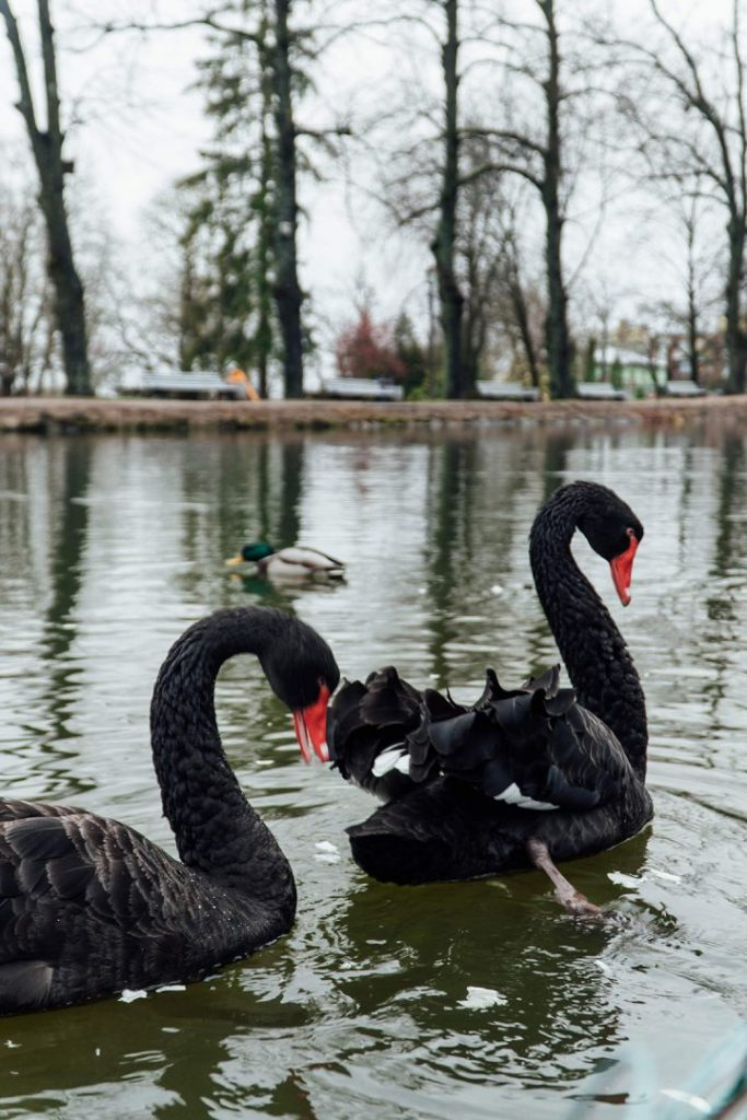 two black swans on a lake in cesis