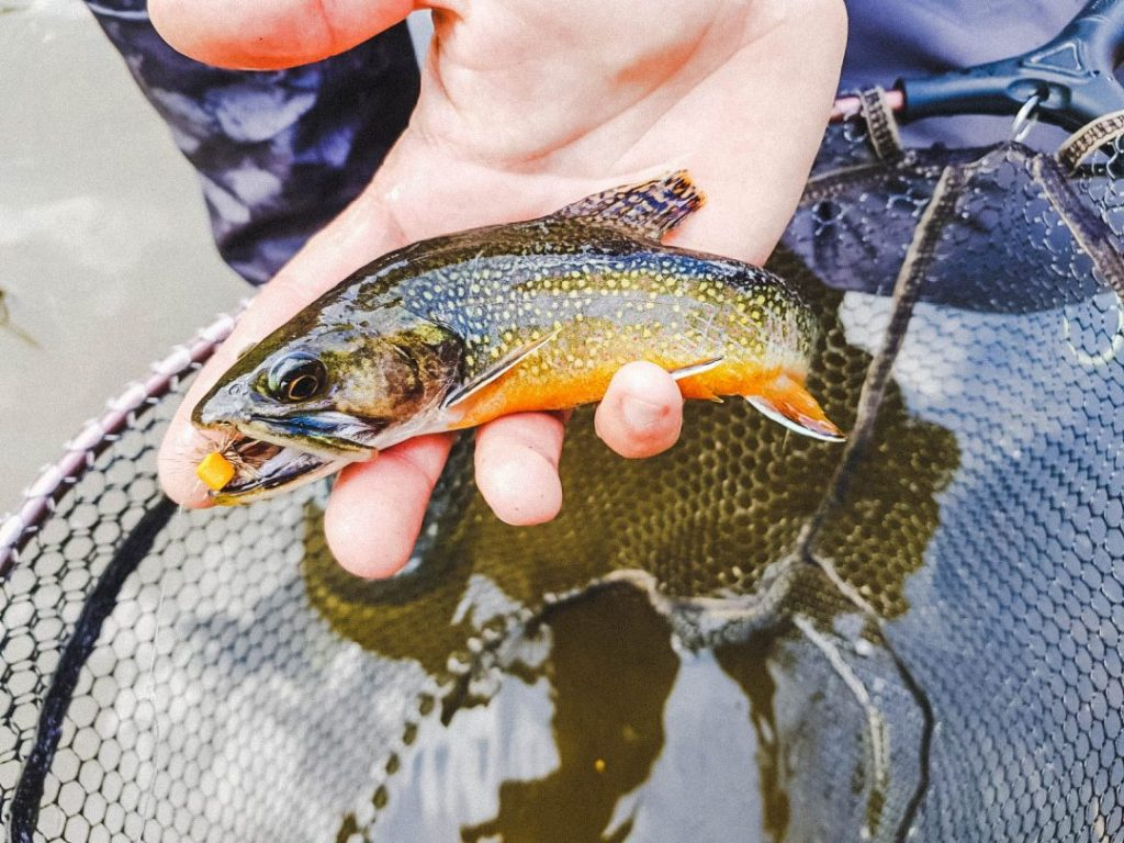 A fish caught while no-kill fly fishing in Valle del Chiese, Trentino, Italy