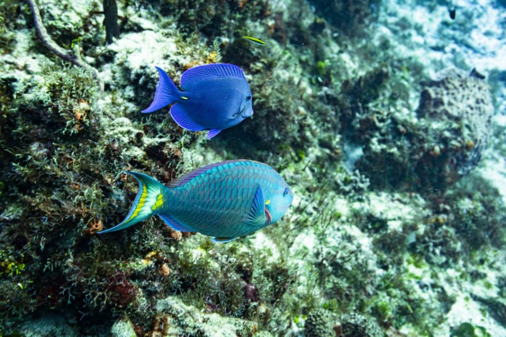 a blue fish and a rainbow fish in cozumel, mexico