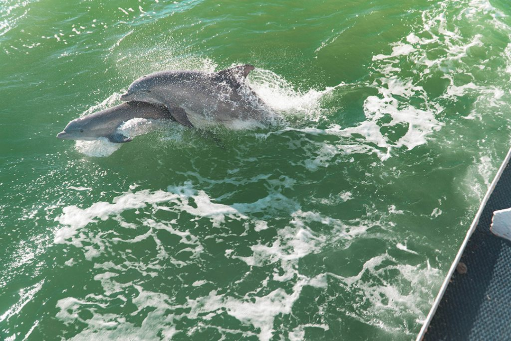 two dolphins playing in boat wake