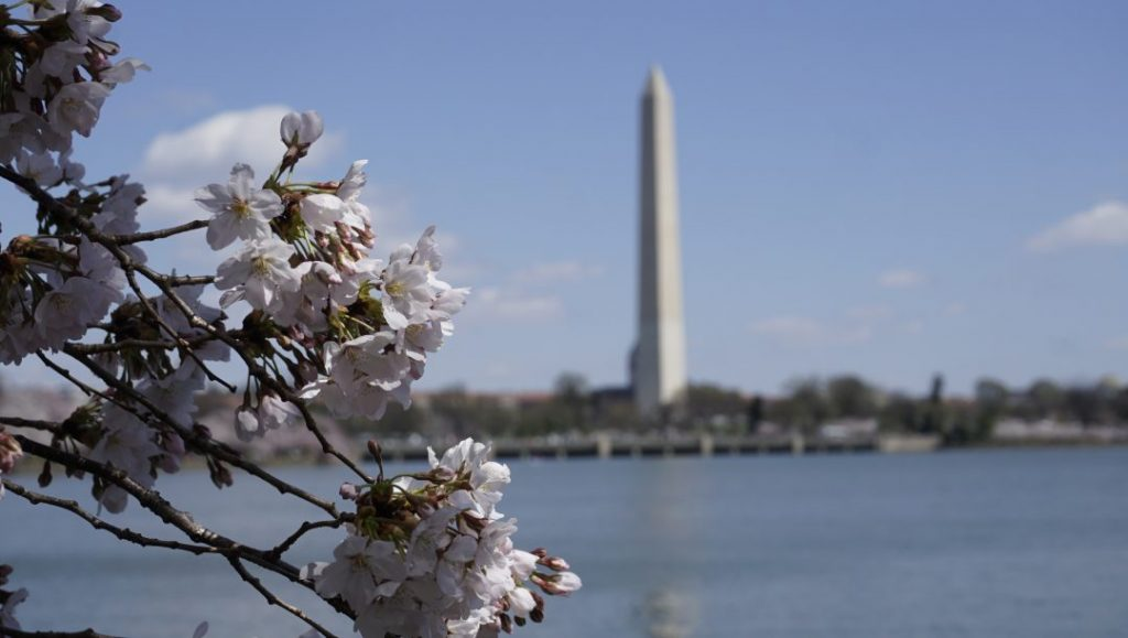 cherry blossoms peeking into the frame with the washington monument in the background
