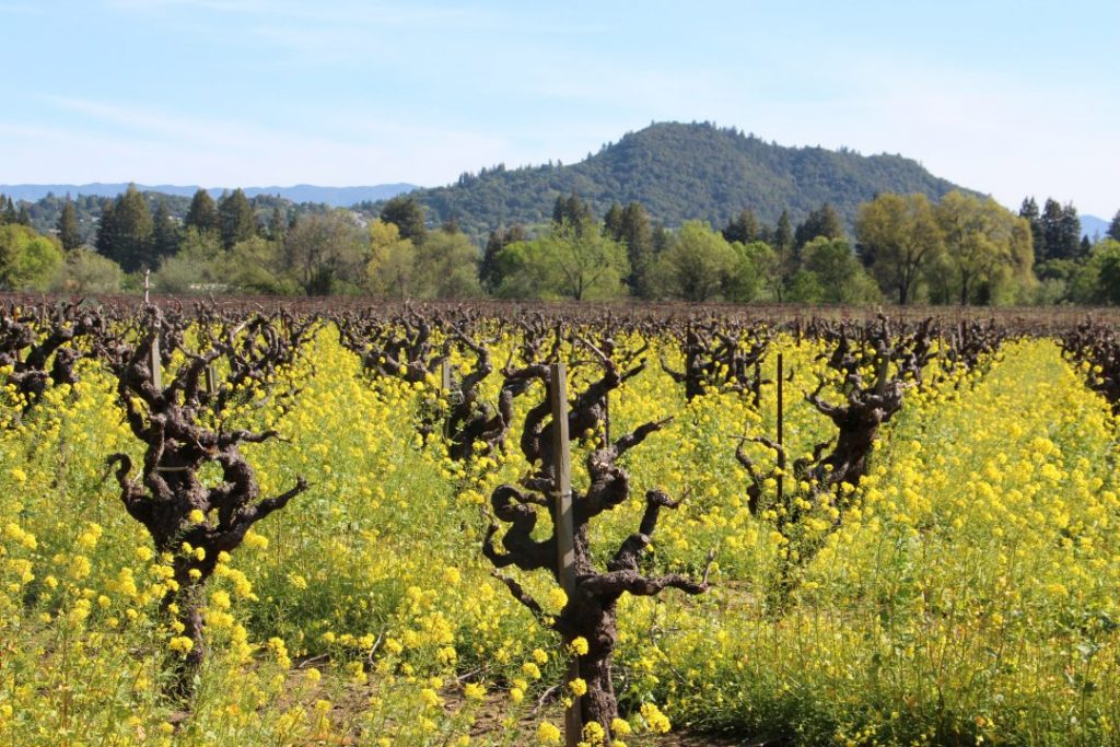 yellow flowers in a vineyard in spring