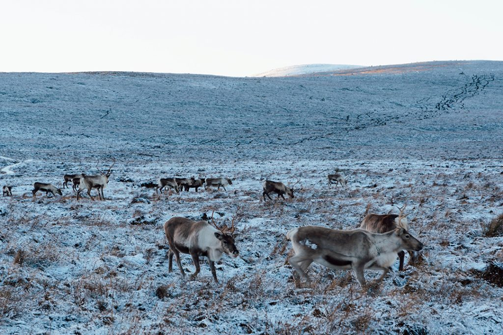 reindeer coming down the mountain